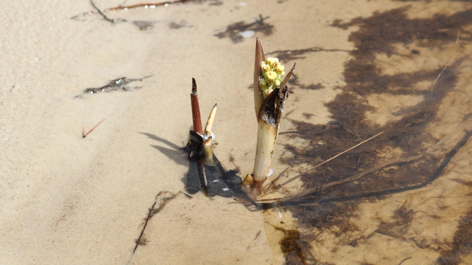 Начинающий цвести белокопытень на кромке воды. 28.04.2020
